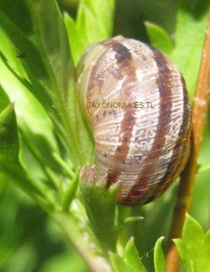 Taxonomia moluscos for Caracoles en el jardin