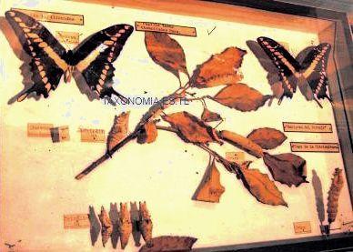 taxonomia  Orden Lepidoptera mariposas