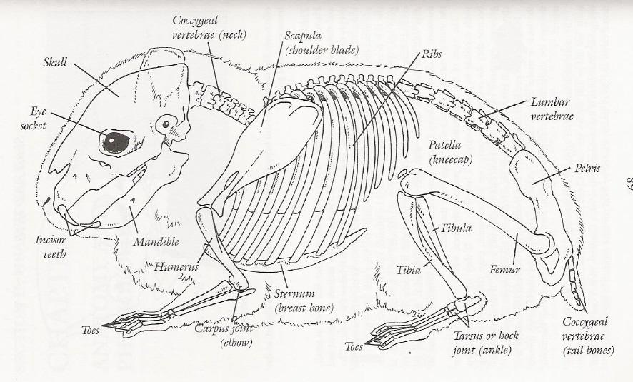 Atemberaubend Anatomie Eines Meerschweinchens Zeitgenössisch ...