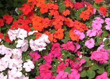 Comercializadora de plantas tu jardin es besitos for Plantas ornamentales croto