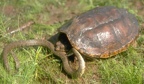 Tortugui as tipos de tortugas for Estanques para tortugas de agua