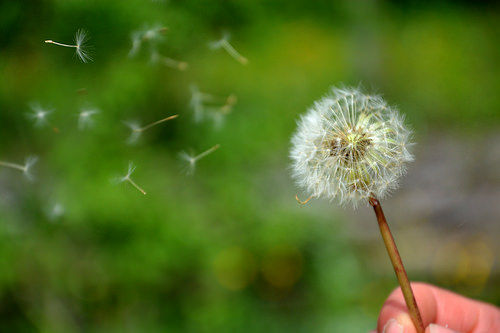 Dandelion blow with hand