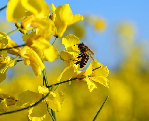 Raps mit Biene