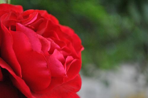 1.bild rose