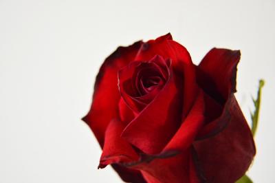 Rose fotografie