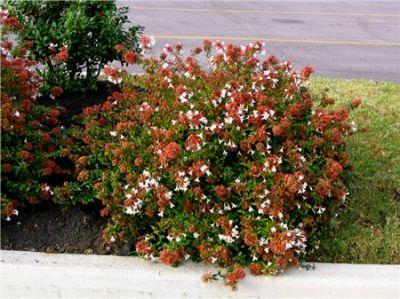 Viverolosliriospaisajismo arbustos para cerco vivo for Arbustos con flores para jardin