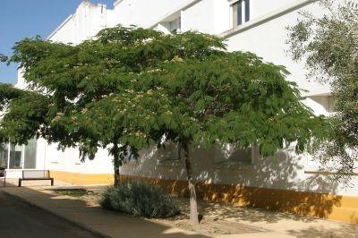 Viverolosliriospaisajismo forestacion urbana y rural for Arboles perennes de crecimiento rapido en argentina