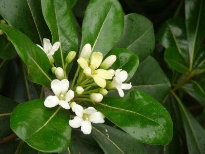 Viverolosliriospaisajismo arbustos para cerco vivo - Arbustos perennes con flor ...