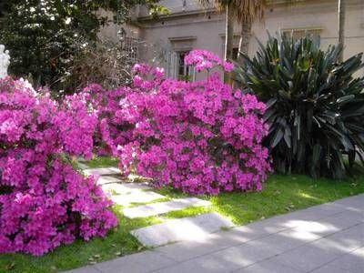 Viverolosliriospaisajismo arbustos para cerco vivo for Arbustos ornamentales