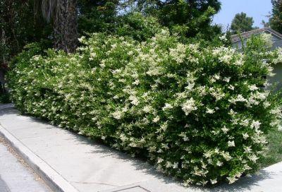 Arbustos ideales para cerco verde o vivo (Ligustrina)
