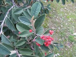 Arbustos ideales para cerco verde o vivo (Cotoneaster)