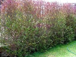 Arbustos ideales para cerco verde o vivo (Dodonea)