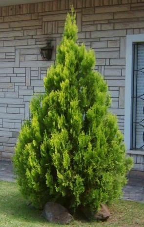 Viverolosliriospaisajismo coniferas for Tipos de pinos para jardin