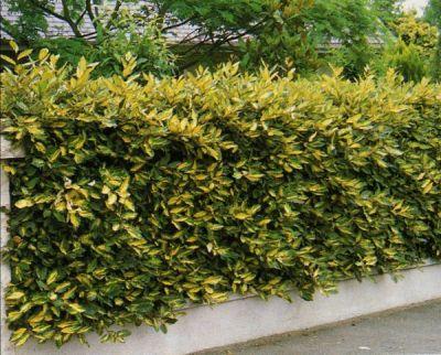 Arbustos ideales para cerco verde o vivo (Eleagnus)
