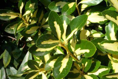 Arbustos ideales para cerco verde o vivo (Evonimo)