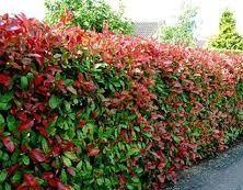 Viverolosliriospaisajismo arbustos para cerco vivo - Arbustos de jardin de hoja perenne ...