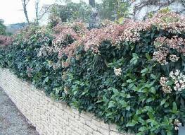 Arbustos ideales para cerco verde o vivo (Laurentino)