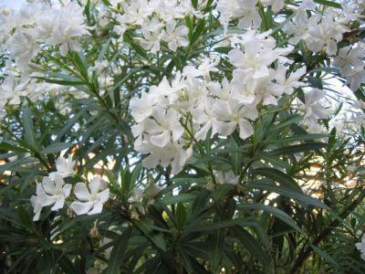 Viverolosliriospaisajismo arbustos para cerco vivo - Laurel de jardin ...