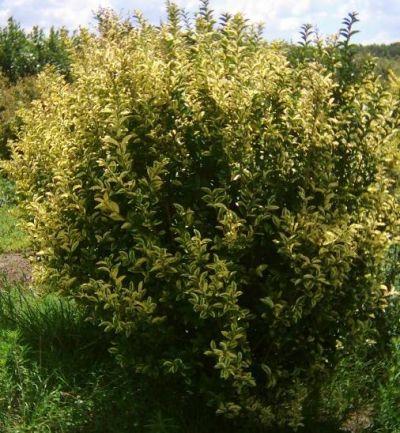 Arbustos ideales para cerco verde o vivo (Oliveta)