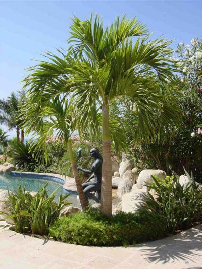 Viverosancarlos palmera kerpis - Palmeras pequenas para jardin ...