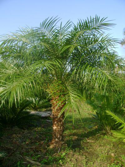 Viverosancarlos palmera rubelina for Iluminacion para palmeras