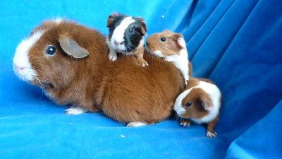 meerschweinchen nachwuchs