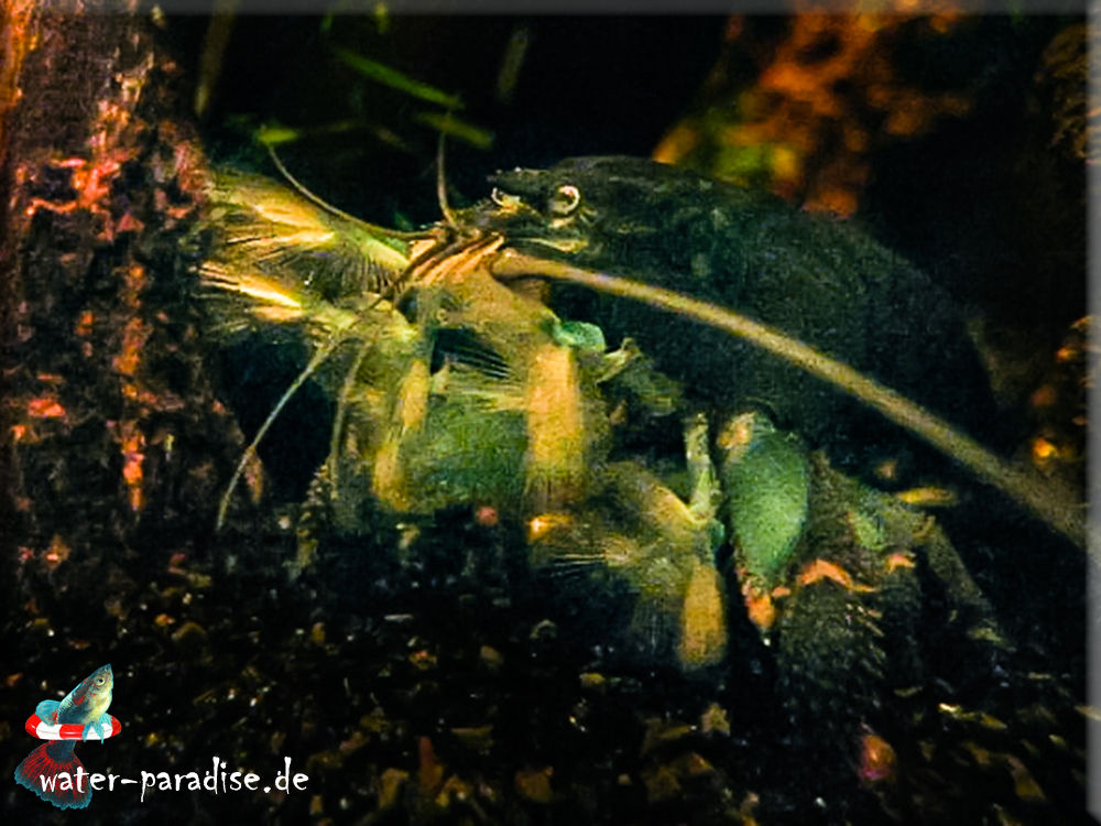 Blaue Monsterfächergarnele (Atya gabonensis)