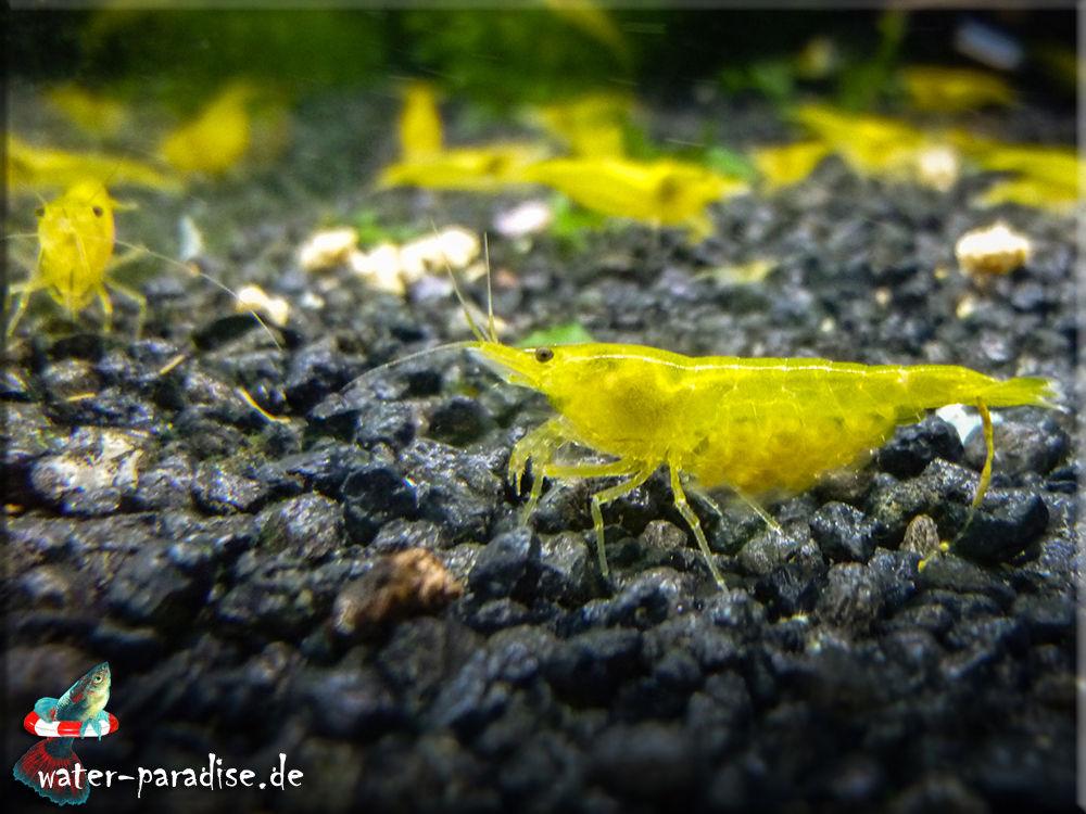 Neocaridina denticulata davidi var. Yellow Fire