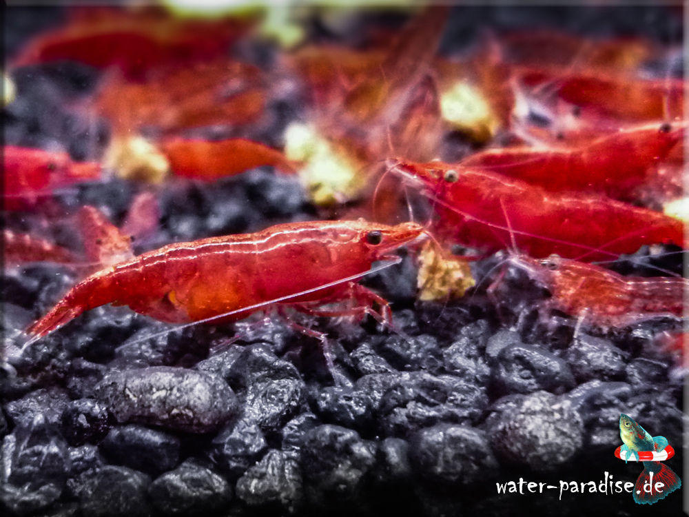 Neocaridina denticulata davidi var. Red Fire Sakura