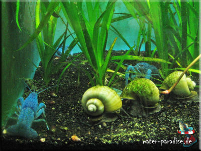 Blaue Floridakrebse (Procambarus Alleni)
