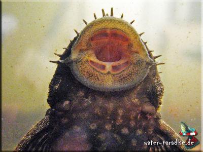 Antennenwelse  (Pimelodidae)