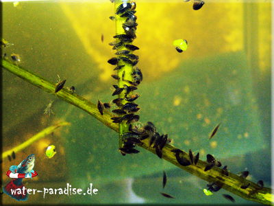 Mexikanische Bachflohkrebse (Hyalella azteca)