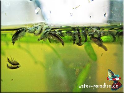 Hyalella azteca - Mexikanische Bachflohkrebse