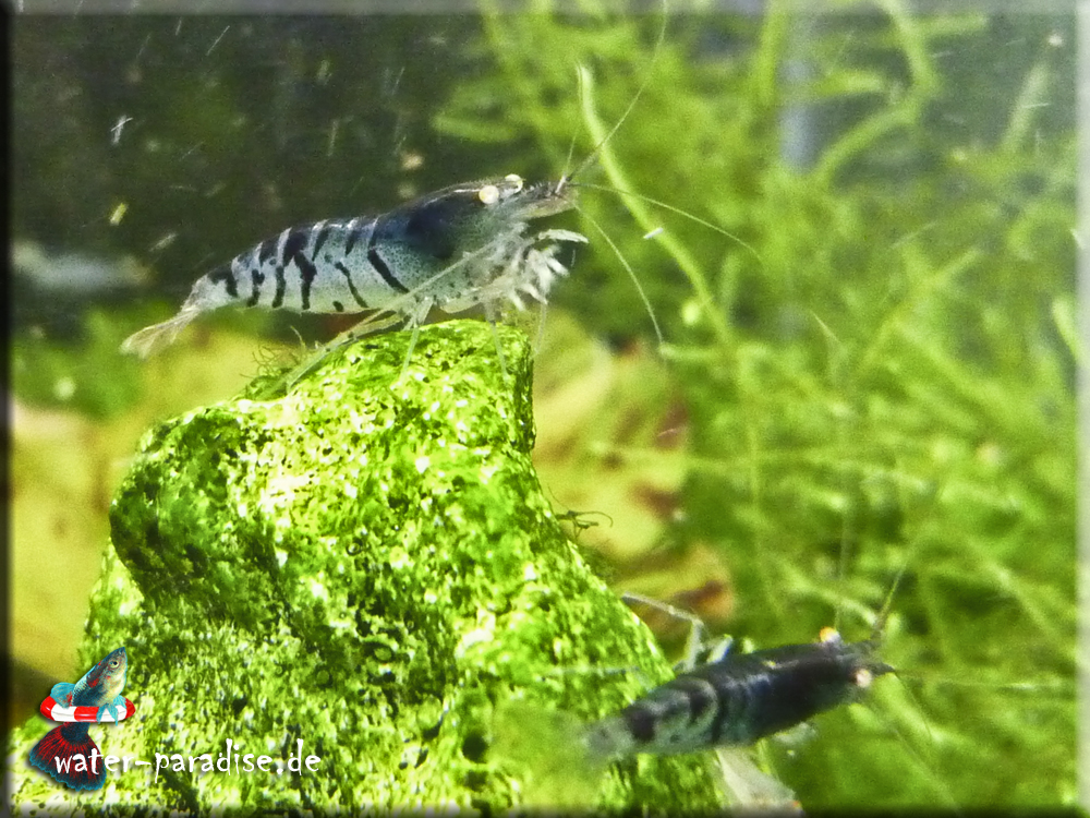 Blaue Tigergarnelen (Caridina mariae var. Deep Blue Tiger Orange Eye)
