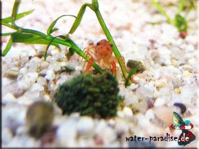 Cambarellus Patzcuarensis sp. Orange) - CPO -Orange-Zwergkrebse