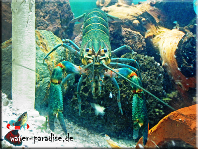 Australischer Rotscheren Flusskrebs - Red Claw (Cherax Quadricarinatus)