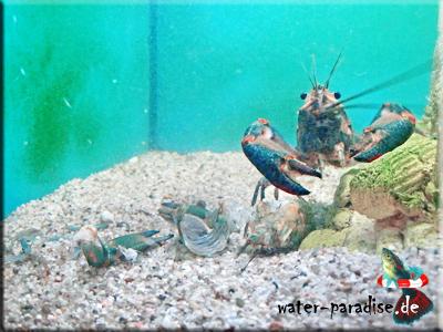 Australischer Rotscheren Flusskrebs - Red Claw (Cherax Quadricarinatus)