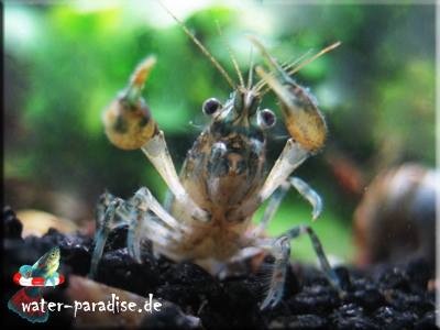 Cambarellus Texanus