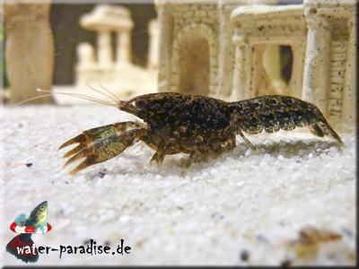Erwachsener weiblicher Cambarellus Texanus