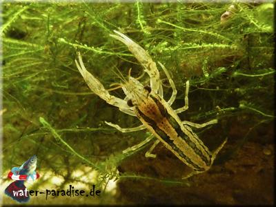 Erwachsener männlicher Cambarellus Texanus