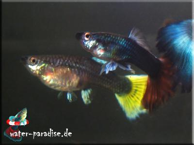 weiblicher Guppy (mit gelbem Schwanz) unter männlichen Guppys (Poecilia reticulata)