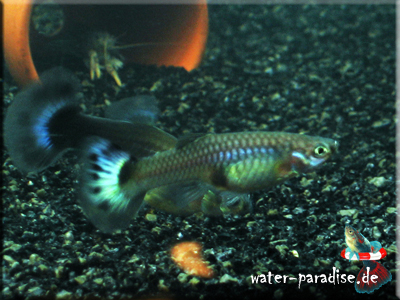 weiblicher Guppy (Poecilia reticulata)