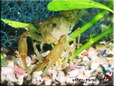 Cambarellus Puer - Knabenkrebs