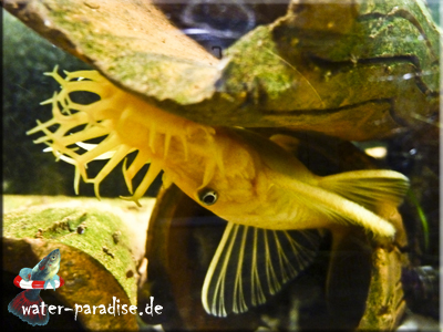 Harnischwelse Ancistrus sp. L 144