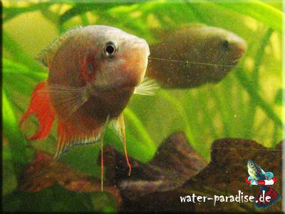 Paradiesfisch (Makropoden)