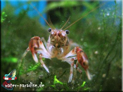 Cambarellus Montezumae - Montezuma Zwergflusskrebs