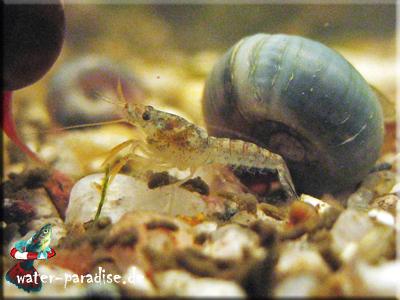 Junger Cambarellus Montezumae