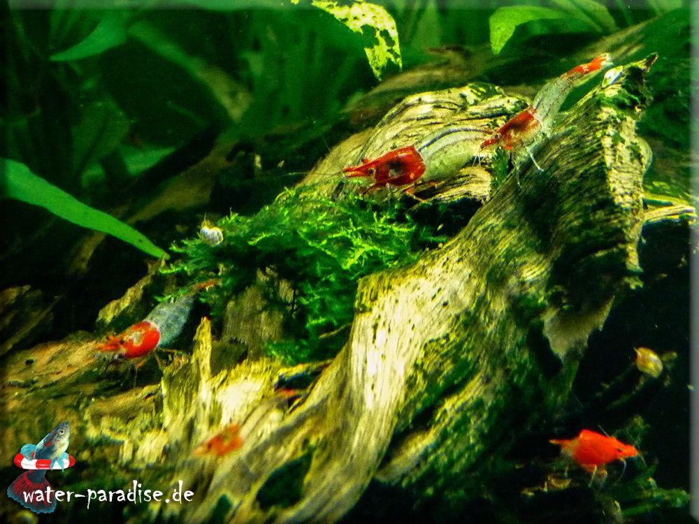 Neocaridina denticulata davidi - Red Rili