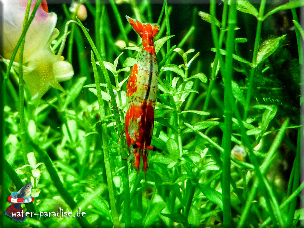 Neocaridina denticulata davidi var. Red Rili