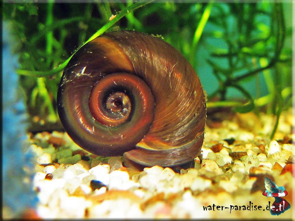 posthornschnecke aquarium
